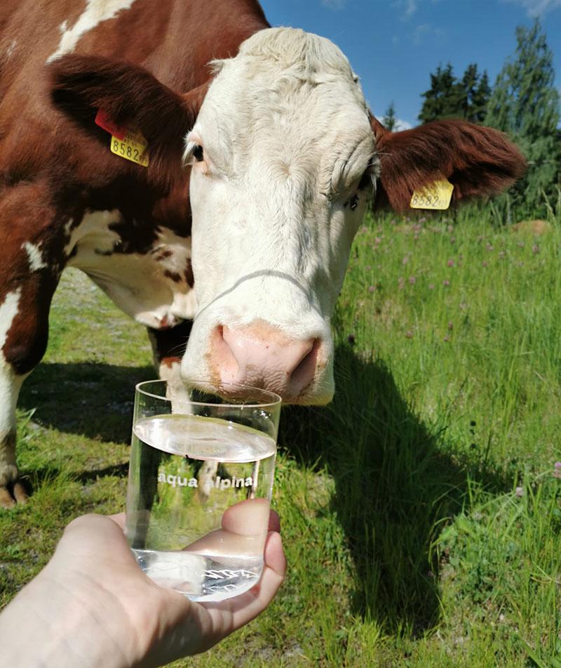 Kuh in der Natur mit Wasserglas von aqua alpnina